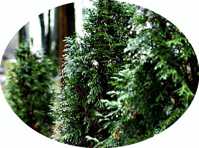 Zypressen, Lebensbäume und Nordmanntannen. Ihre Baumschule in Ribnitz-Damgarten